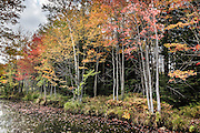 Orange fall color leaves by pond. Cadillac Heritage Nature Study Area, William Mitchell State Park, Cadillac, Michigan, USA. Walk the pleasant 2.5-mile Heritage Nature Trail on boardwalks and packed limestone starting from Carl T. Johnson Hunting and Fishing Center, through old-growth hardwood forest then around an old dike system which retains rich wetlands.