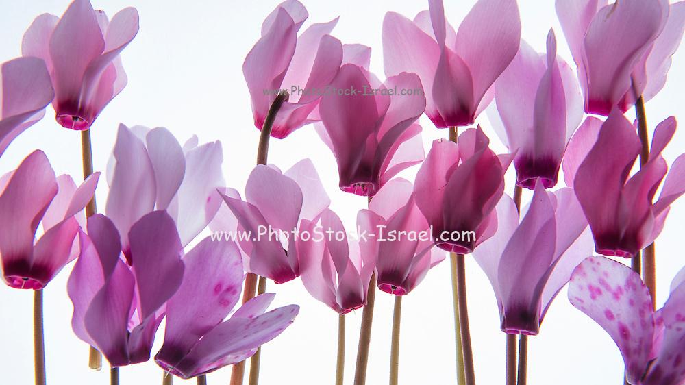 backlit violet petals (Cyclamen) on a lightbox