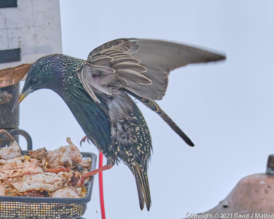 European Starling (Sturnus vulgaris). Image taken with a Fuji X-T3 camera and 200 mm f/2 lens and 1.4x teleconverter.