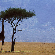 Giraffe, (Giraffa camelopardalis) Feeding on acacia tree in shade. Masai Mara Game Reserve. Kenya. Africa.