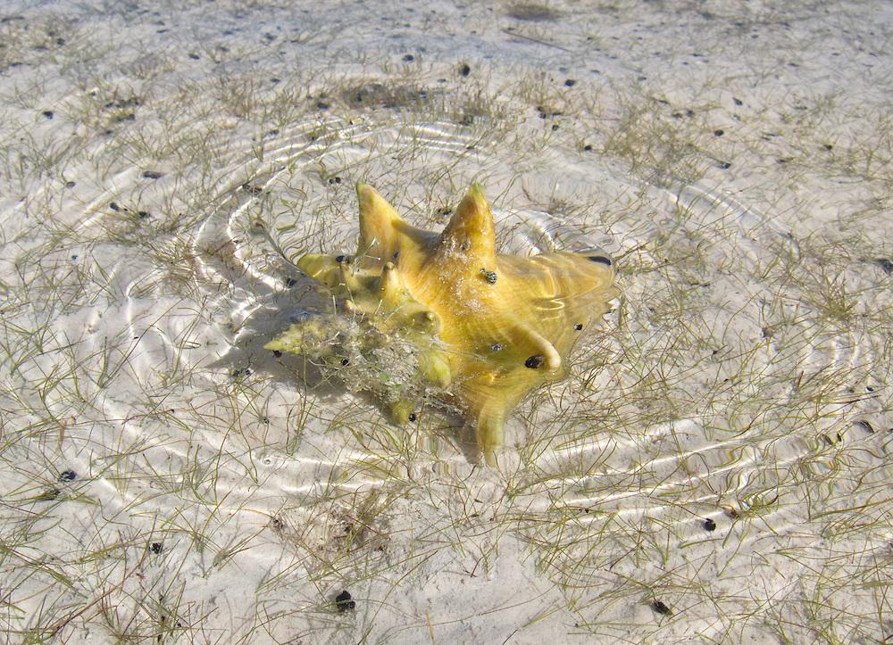 Ambergris Caye, Belize 8/31/2012.Live conch in the Bacalar Chico National Park..Alex Jones / www.alexjonesphoto.com