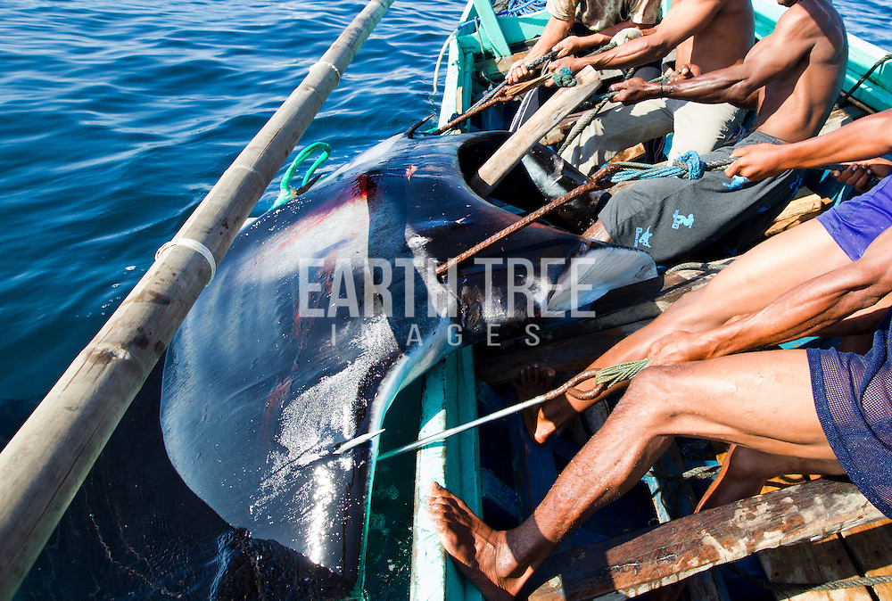 A large manta ray to brought up along side after its been harpooned, off the coast of Lamakera, Solor, Indonesia. Of the handful of locations that account for the majority of manta fishers, the central Indonesian village of Lamakera is at the top and is considered the world's largest manta fishing site. Villagers here have conducted traditional manta hunts for many generations, but with the arrival of the gill plate trade in the early 2000s, the community converted to diesel engines and transformed to a full-scale commercial fishery, landing over 1,000 mantas in a single season. Photo:Paul Hilton / Earth Tree Images