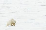 Polar bear on ice float at Spitsbergen, Norway
