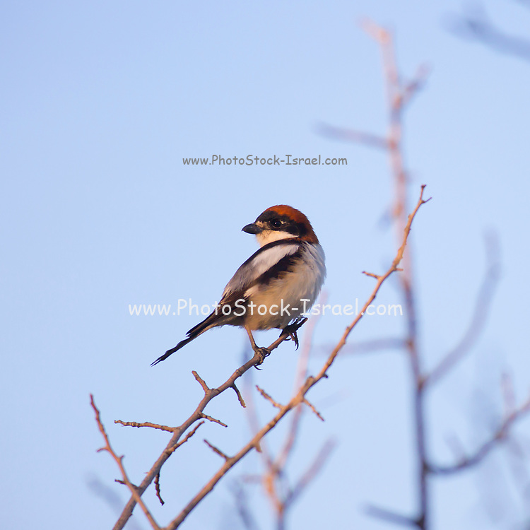 Male Woodchat Shrike (Lanius senator) on a twig. This bird breeds in southern Europe, the Middle East and northwest Africa, and winters in tropical Africa. Photographed in Israel in April.