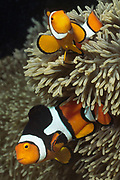Pair of Clown Anemonefish in Sea Anemone.(Amphiprion percula).Lembeh Straits, Indonesia