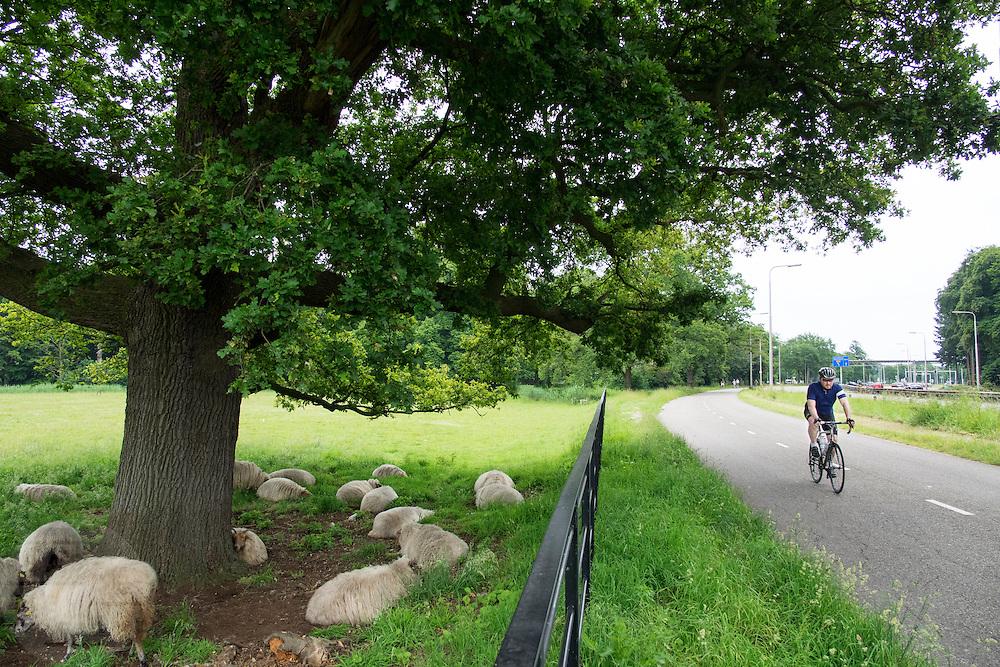 Bij De Bilt rijdt een racefietser langs een groep schapen die onder een boom verkoeling zoeken.<br /> <br /> In De Bilt a racing cyclist pasts a group of sheep under a tree cooling off.