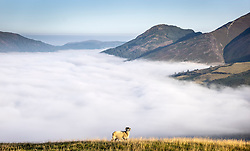 © Licensed to London News Pictures. 07/09/2021. Keswick UK. A sheep stands in a field high above the cloud inversion that is covering the town of Keswick in the lake district this morning. Photo credit: Andrew McCaren/LNP