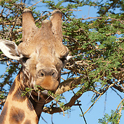 A male giraffe (Giraffa camelopardalis) eating from a tree. Kenya, Africa