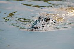 THEMENBILD - ein Alligator waehrend einer Sumpf-Tour, aufgenommen am 06.08.2019, New Orleans, Vereinigte Staaten von Amerika // an alligator during a swamp tour, New Orleans, United States of America on 2019/08/06. EXPA Pictures © 2019, PhotoCredit: EXPA/ Florian Schroetter