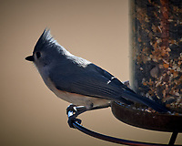 Tufted Titmouse. Image taken with a Nikon D5 camera and 600 mm f/4 VR telephoto lens (ISO 100, 600 mm,  f/4, 1/640 sec).
