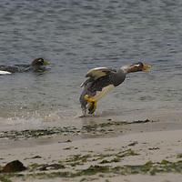 A Flightless Steamer Ducks runs along a beach on New Island, in Britain's Falkland Islands.