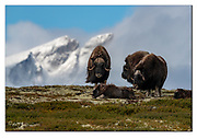 """Family of muskoxes  at Dovrefjell, Norway, with the upper slopes of the mountain """"Snöhetta"""" in the background. Nikon D850, 600mm, f9, 1/1250sec, ISO200, Manual moduds."""