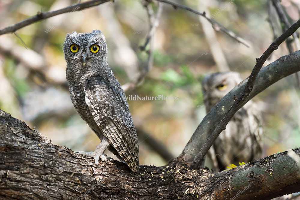 An immature Western Screech Owl (Megascops kennicottii) roosting on a Mesquite branch (Prosopis velutina), with a sibling in the background. Arizona