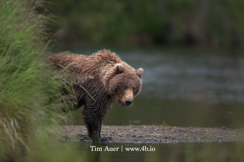 In 1602 Father Ascension, Vizcaino expedition, was the first European to write about the California Grizzly. While in Monterey he saw California grizzlies, noting that they came to the shore at night to feed on the carcass of a whale that had washed up.