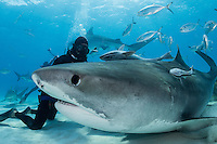 Divers interact with cooperative Tiger Sharks<br /> <br /> Shot in Bahamas