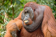 A portrait of a dominant male orangutan (Pongo pymaeus) with his mouth full of food,  Tanjung Puting National Park, Central Kalimantan, Borneo, Indonesia