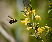 Bumble Bee in flight. Image taken with a Nikon N1V3 camera and 70-300 mm VR lens (ISO 200, 300 mm, f/5.6, 1/800 sec).
