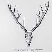 Skull and antlers of the The barasingha (Rucervus duvaucelii), also called swamp deer, is a deer species distributed in the Indian subcontinent. from the book ' The deer of all lands : a history of the family Cervidae, living and extinct ' by Richard Lydekker, Published in London by Ward 1898