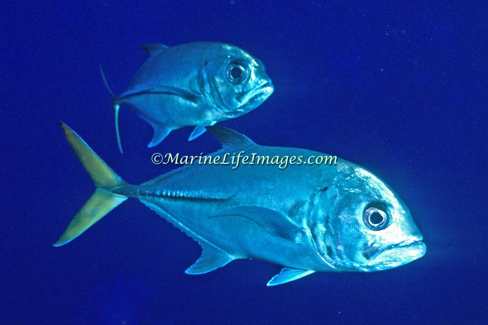 Horse-eye Jack inhabit open water in Tropical West Atlantic; picture taken Little Cayman.