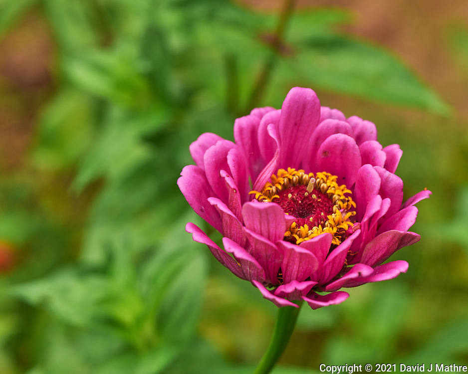 Zinnia. Image taken with a Leica SL2  camera and 24-90 mm lens.