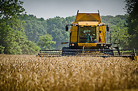 On the summer solstice with temps in the upper 90's I came upon the harvesting of local wheat fields. The wheat is slated to be delivered to a Perdue operation as feed for chickens.