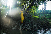 On my boat ride through the Thor Heyerdahl Climate Park, I was shown a Rhizophora mangrove tree that was at least 30 feet tall. I jumped out of the boat into the water to try to figure out how to shoot it. In the meantime, the Worldview International Foundation's media assistant, Wai Thazin Aung climbed onto it's roots to reach the land. In her beautiful yellow 'one set' I felt she would make a lovely image, giving scale to the magnificent, tangled roots that are instrumental in protecting shorelines from erosion.<br /> <br /> True mangroves grow in saline water, not fresh, and can absorb upto 5x as much carbon dioxide as a normal plant. The soil of mangroves is soft and clay like as it keeps in all the carbon.