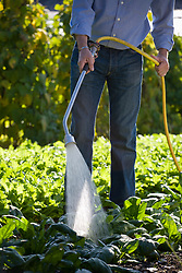 Watering a vegetable garden with a spray wand hose