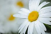 common or oxeye daisy (Leucanthemum vulgare or Chrysanthemum leucanthemum) flowers<br />St. Jacques<br />New Brunswick<br />Canada
