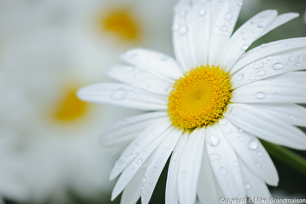 common or oxeye daisy (Leucanthemum vulgare or Chrysanthemum leucanthemum) flowers<br />
