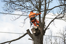 Denham, UK. 6th April, 2021. A tree surgeon fells a tree alongside the Grand Union Canal for electricity pylon relocation works in Denham Country Park connected to the HS2 high-speed rail link. Thousands of trees have already been felled in the Colne Valley where HS2 works will include the construction of a Colne Valley Viaduct across lakes and waterways and electricity pylon relocation.