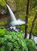 Ponytail Falls, Columbia River Gorge, Oregon.