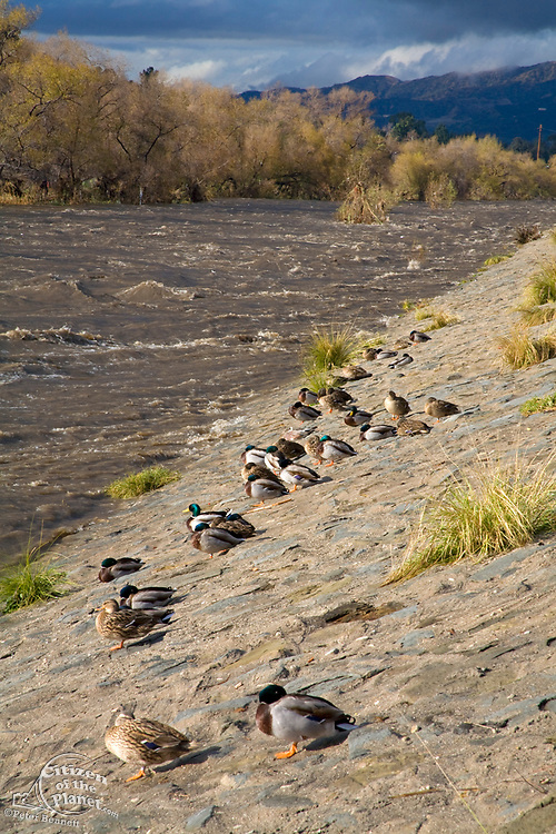 Ducks line the banks of the Los Angeles River during a rainstorm. Glendale Narrows. Los Angeles, California, USA