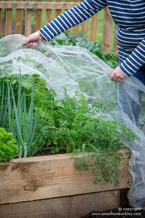Covering carrots with enviromesh to protect them from carrot root fly