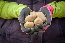 Handful of chitted potatoes ready to plant out in spring