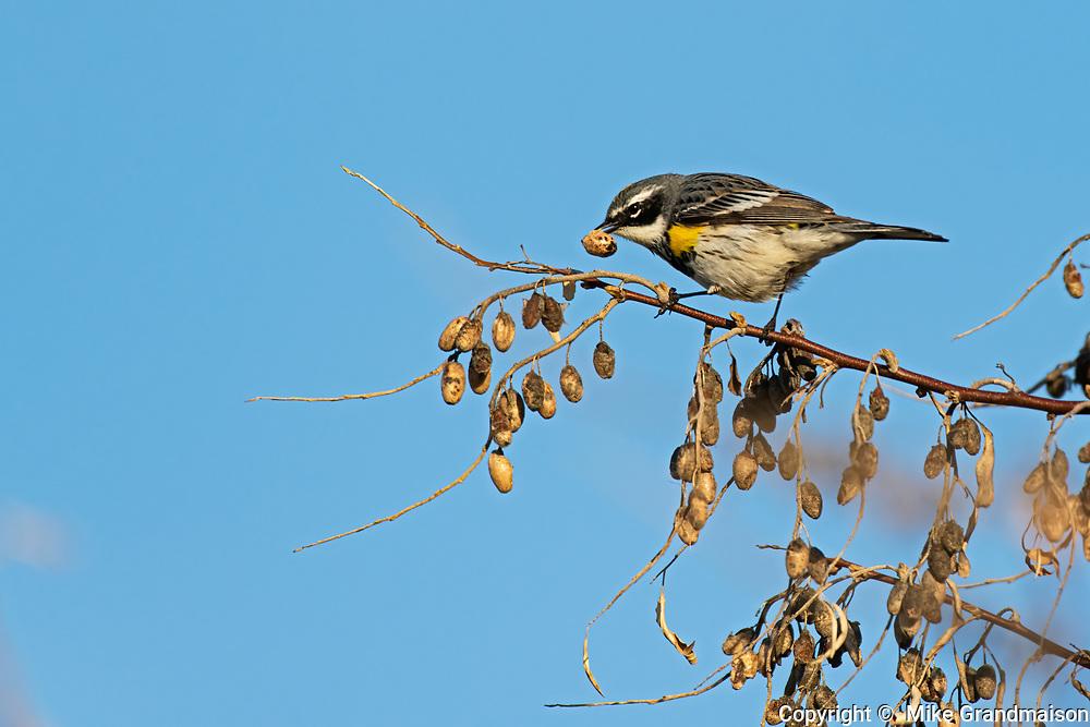 Yellow-rumped Warbler (Myrtle)<br /> (Setophaga coronata)<br /> Winnipeg<br />Manitoba<br />Canada
