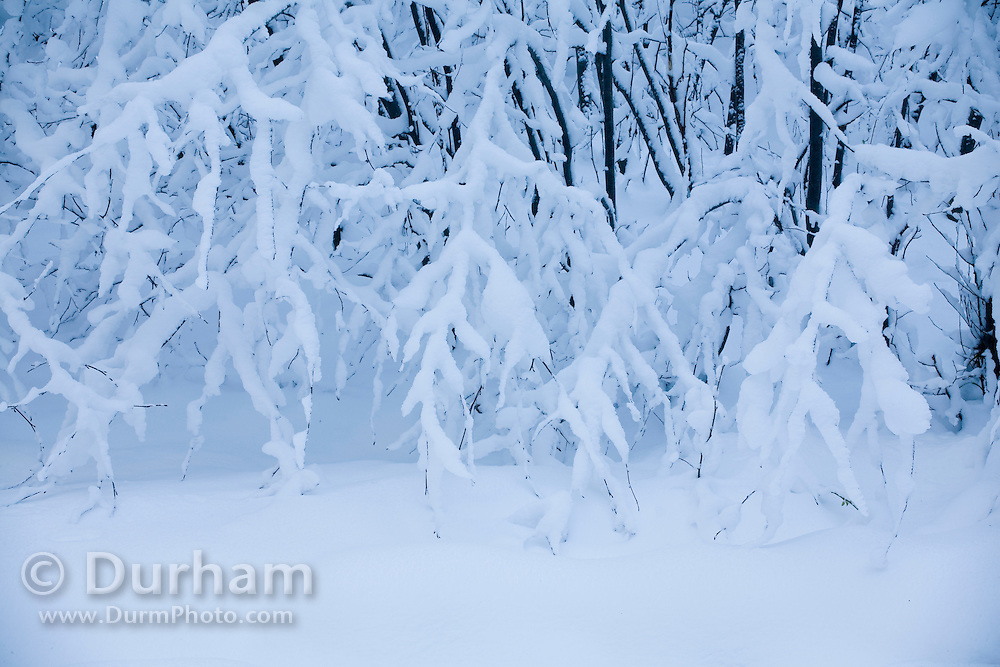Details of snow laden shrubs in the Clatsop State Forest, at 1600 feet in the coast range of northern Oregon, after a rare snow storm.
