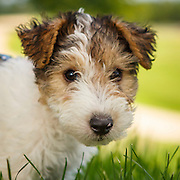 Wire Fox Terrier Puppy and Family