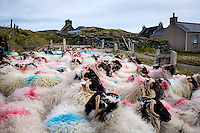 LEWIS AND HARRIS, SCOTLAND - CIRCA APRIL 2016: Sheeps on the outer islands of Lewis and Harris in Scotland.