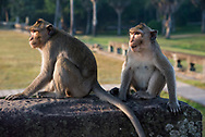 Monkeys at Angkor Wat, at Angkor Archaeological Park in Siem Reap, Cambodia.