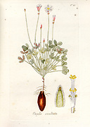 Woodsorrel (Oxalis exaltata). Illustration from 'Oxalis Monographia iconibus illustrata' by Nikolaus Joseph Jacquin (1797-1798). published 1794