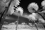 Infrared image of Diamond Head Crater and Palm Trees in Kapi'olani Park.