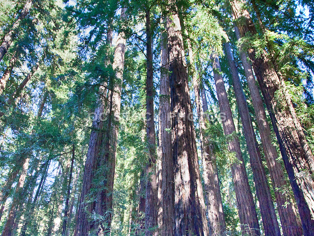 Giant Redwood Trees in Big Sur