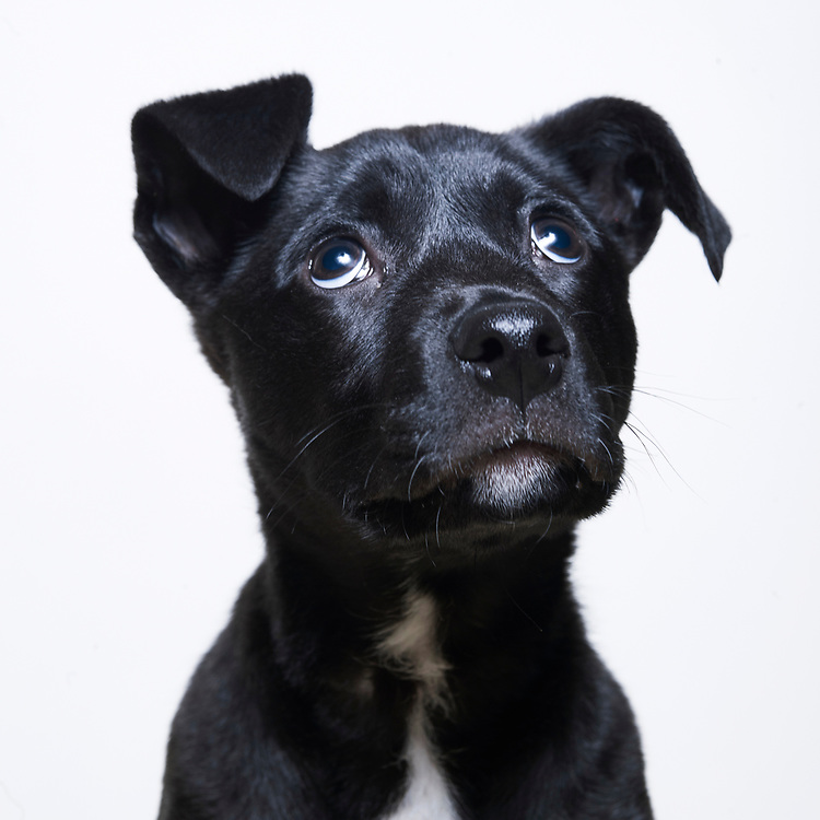 Studio portrait  of small mixed breed dog 1-3 mo's looking up