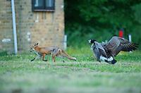 Urban fox (Vulpes vulpes) with Canada Goose (Branta canadensis) in London, United Kingdom