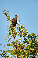 Limpkin (Aramus guarauna), Araras Ecolodge,  Mato Grosso, Brazil (Photo: Peter Llewellyn)