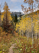 In mid September, leaves turn yellow above white aspen trunks in South Fork Teton Canyon, Jedediah Smith Wilderness, Caribou-Targhee National Forest, Wyoming, USA.