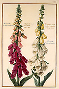 Digitalis (foxglove) 17th century hand painted on Parchment botany study of a from the Jardin du Roi botanical Florilegium of Prince Eugene of Savoy collection, Paris c. 1670 artist: Nicolas Robert