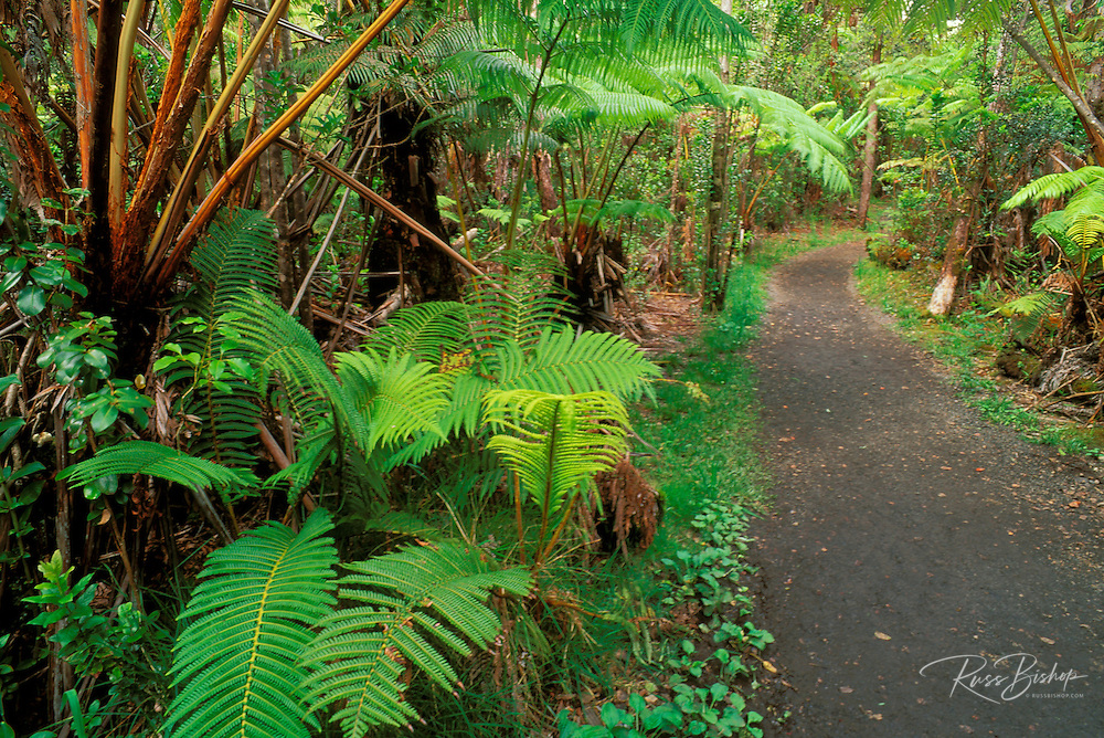 Fern forest along the Crater Rim Trail near the Thurston Lava Tube, Hawaii Volcanoes National Park, The Big Island, Hawaii