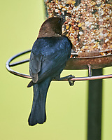 Brown-headed Cowbird. Image taken with a Nikon D4 camera and 600 mm f/4 VR lens.
