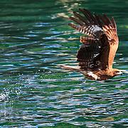 Black-eared kite (Milvus migrans lineatus) grabbing a fish from the water. Kochi prefecture, Japan. トンビ